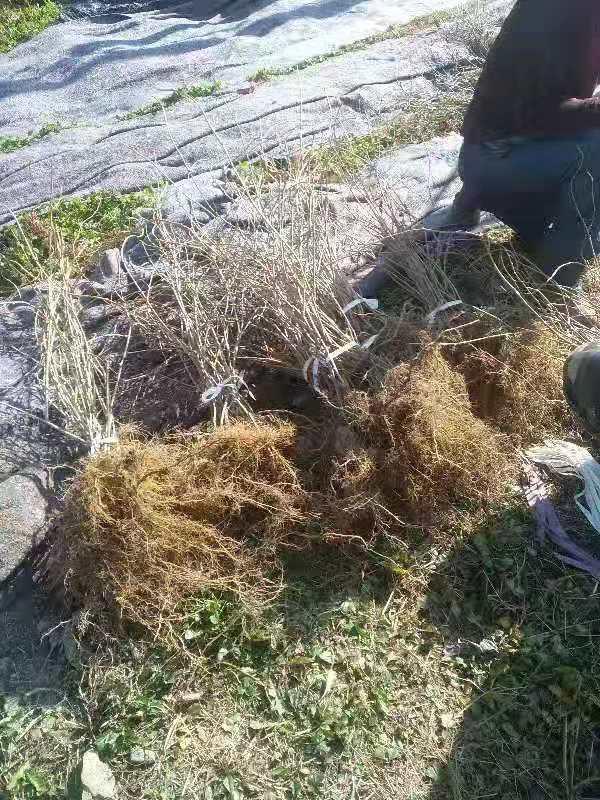 供应吉林高质量的软枣猕猴桃二年苗-龙城二号