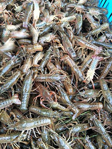 小龙虾养殖推荐 千耀龙虾种苗繁殖基地