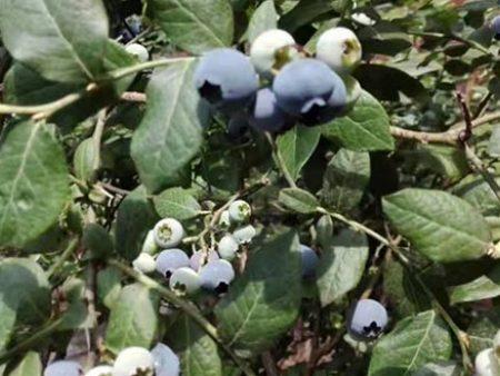 双鸭山蓝莓批发厂家_蓝莓辽宁蓝沃农业科技专业供应