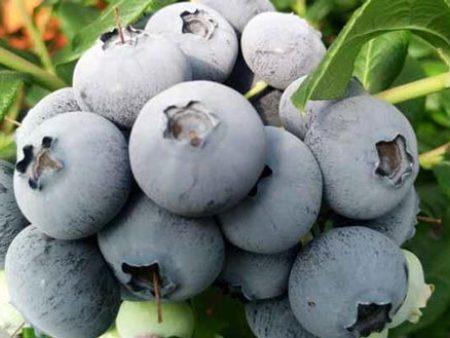 藍莓批發多少錢一斤_采購品質好的藍莓就找遼寧藍沃農業科技