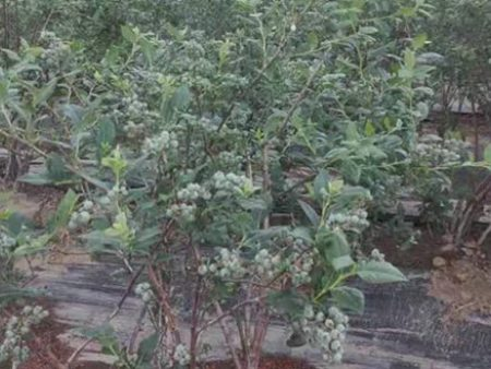 北京热销新鲜蓝莓_辽宁蓝沃农业科技高品质新鲜蓝莓供应