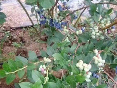 北京特色新鲜蓝莓-优惠的新鲜蓝莓上哪买