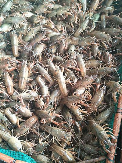江苏好的龙虾苗——信誉好的龙虾苗厂商