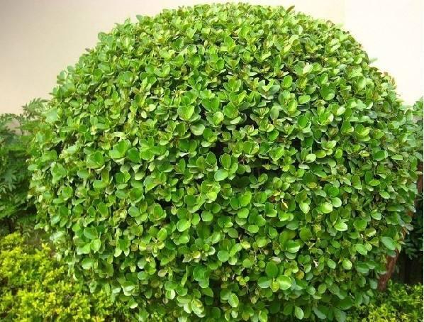 大葉黃楊批發-濰坊銷量好的大葉黃楊哪里有供應
