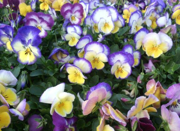 河北三色堇-質量好的三色堇慶濤花卉苗木供應
