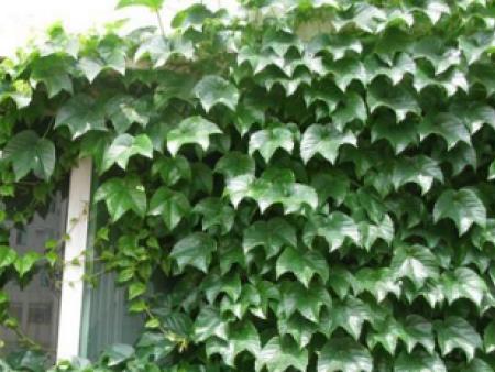常春藤培育基地,常春藤种植基地,常春藤行情(福到了)