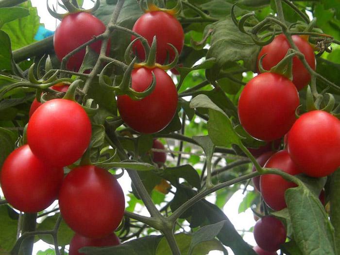樱桃番茄种子供应商-山东品种好的樱桃番茄种子供应