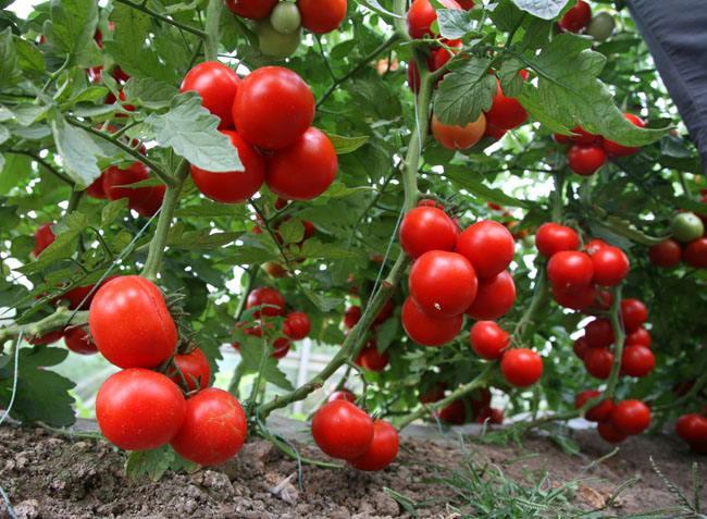 山东红豆西红柿品种-潍坊优良红豆西红柿供应