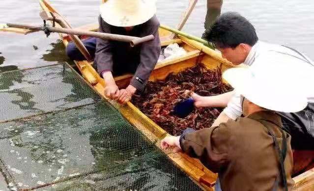 源博水产出售实用的龙虾种苗 吉安好的龙虾种苗