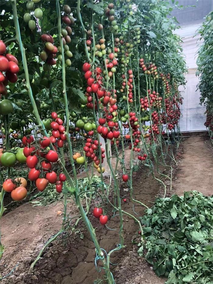 甜妃西红柿-冠旭农业科技专业批发甜妃西红柿