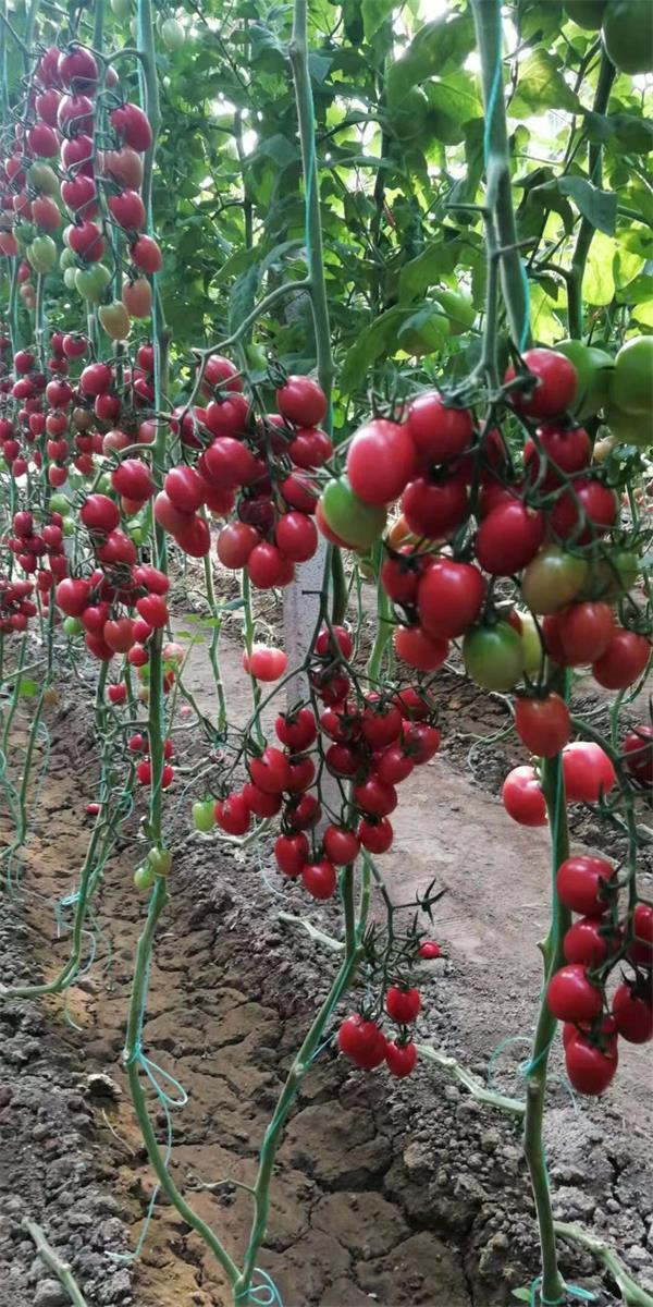 云南甜妃西红柿报价-潍坊甜妃西红柿专业供应商