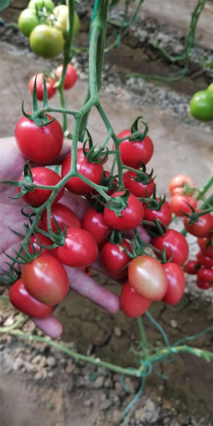 云南甜妃西红柿-哪里购买甜妃西红柿