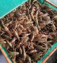 黄浦特色龙虾如何饲养,划算的小龙虾幼苗推荐