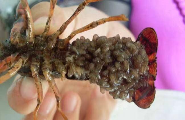 大量供应高性价小龙虾幼苗 卢湾好的小龙虾幼苗批发