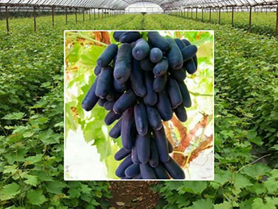 甜蜜蓝宝石葡萄苗|辽宁甜蜜蓝宝石葡萄苗-雨润葡萄苗木