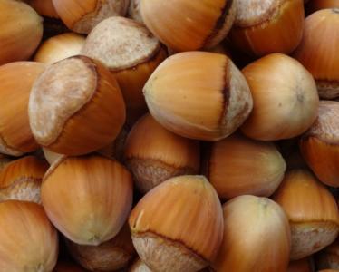 划算的平欧榛子优选熙福诺农业|榛子树厂家推荐