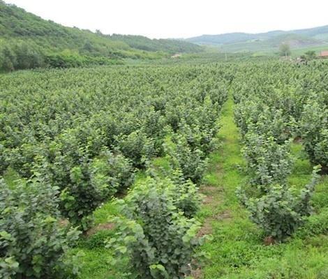易栽种的大果榛子 供应山东质量好的大果榛子