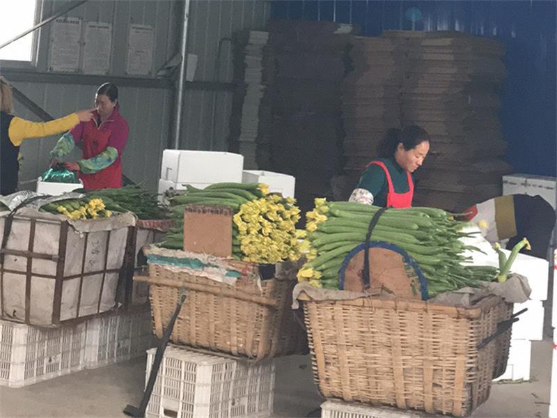 天津丝瓜批发商|潍坊销量好的丝瓜批发供应