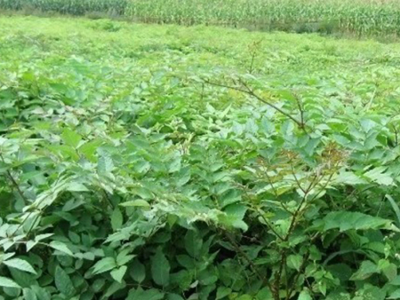 锦州刺嫩芽苗价格-哪里能买到超值的刺嫩芽苗