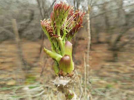 双鸭山刺嫩芽苗哪家好-大量供应高性价刺嫩芽苗