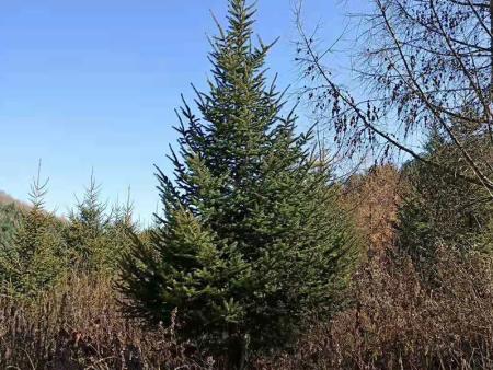 通化云杉樹哪家好-想要實惠的云杉樹就來順鑫苗圃
