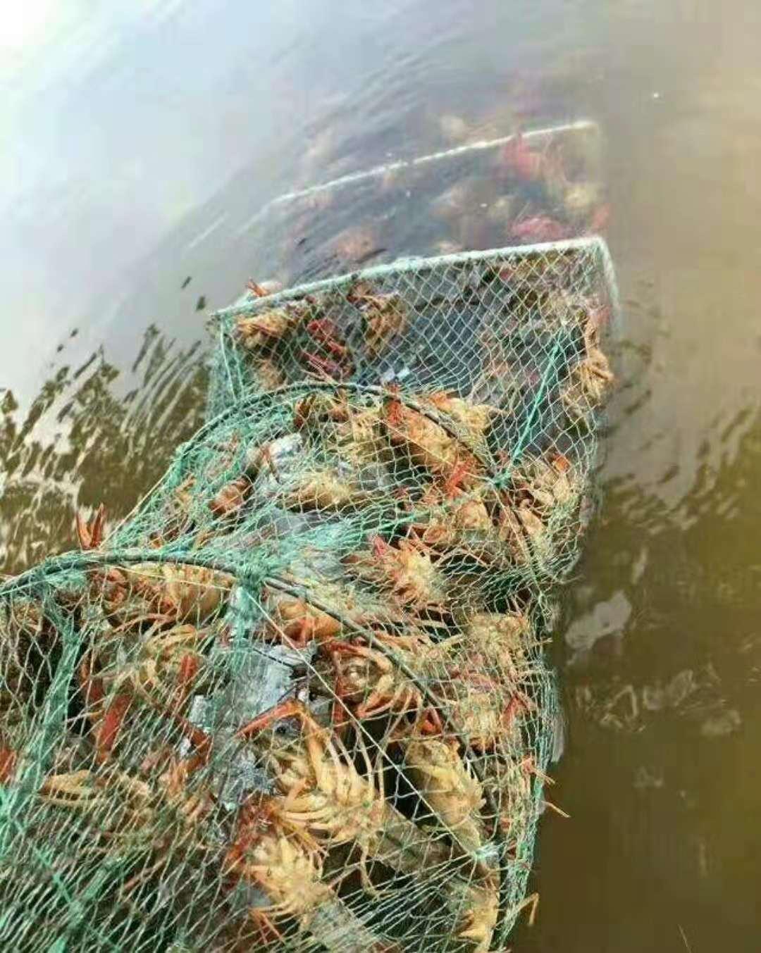 临汾批售龙虾种苗 有品质的龙虾种苗哪里有供应