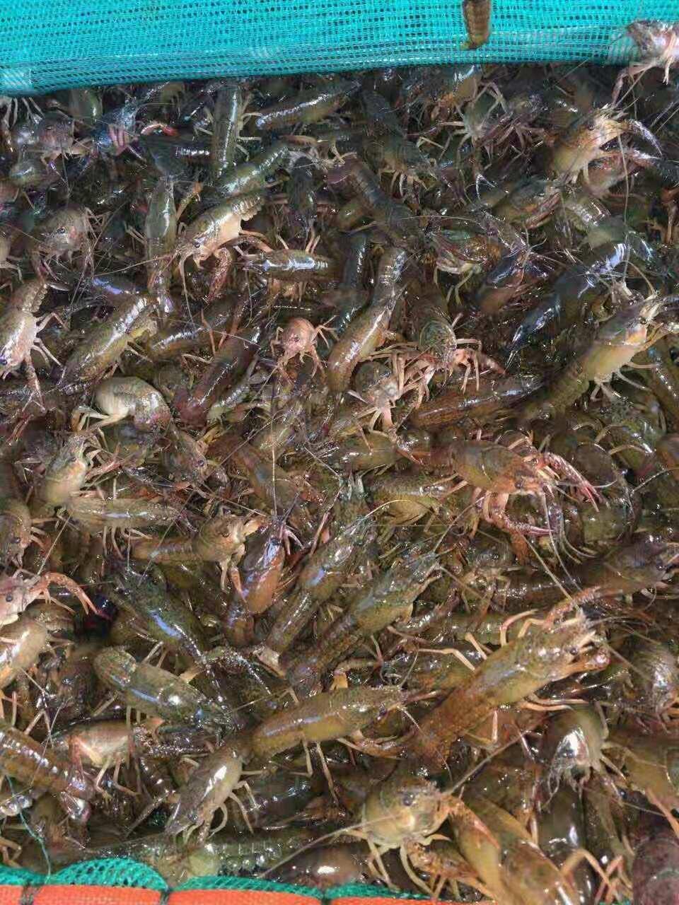 上饶精巧的龙虾种苗|划算的龙虾种苗当选汇恒水产
