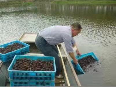 陕西精巧的龙虾种苗|哪里有提供好的龙虾种苗