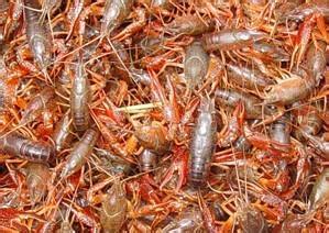 淡水种虾养殖场哪家有,有品质的小龙虾种苗哪里有供应