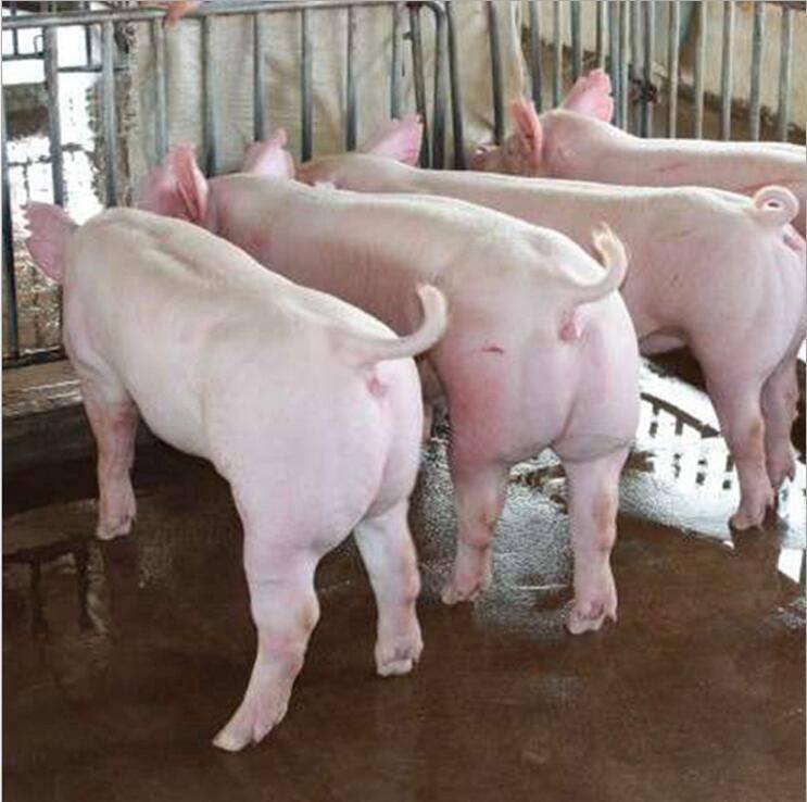 猪苗行情--养殖种猪前景