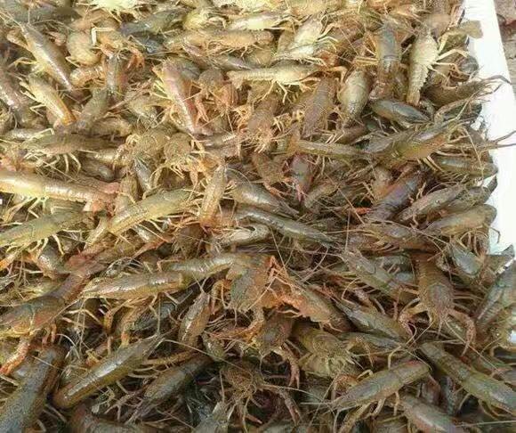 渝中高效龙虾场-划算的小龙虾当选汇恒水产