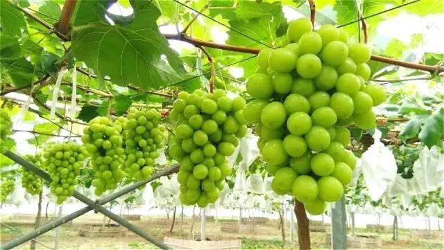 阳光玫瑰葡萄苗找雨润葡萄苗木-品种优良,品质保证