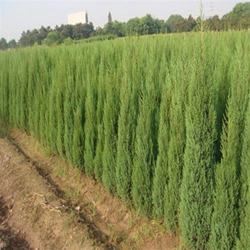 購買遼寧松樹苗就來城關勝興-專業的樹苗供應商