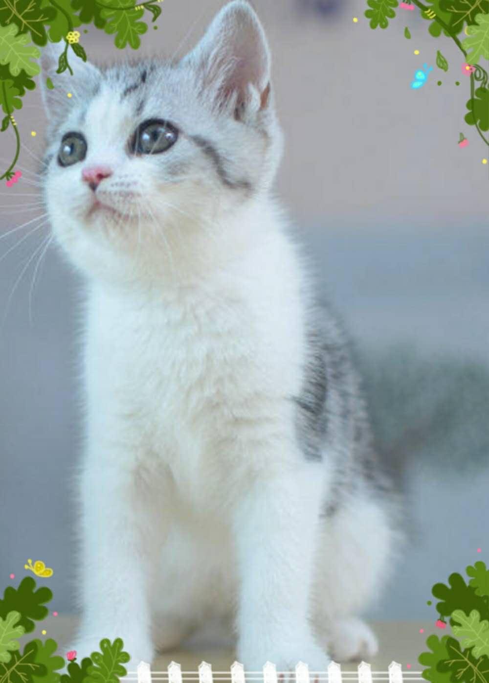 供应青岛不错的美短短毛猫_崂山优质的美国短毛猫