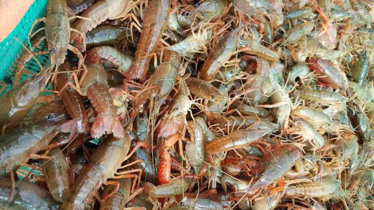 甘肃订购龙虾种苗价格-供应各种规格龙虾种苗