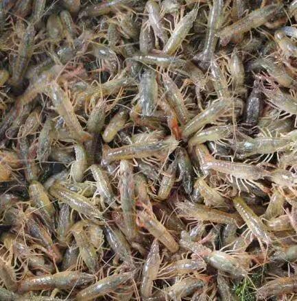 龙虾种苗生长环境