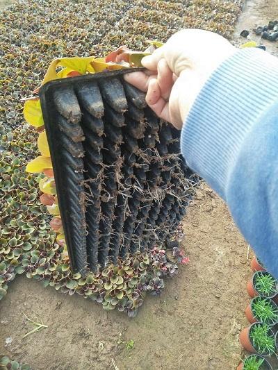 四季海棠穴盤苗多少錢/四季海棠穴盤苗批發價格