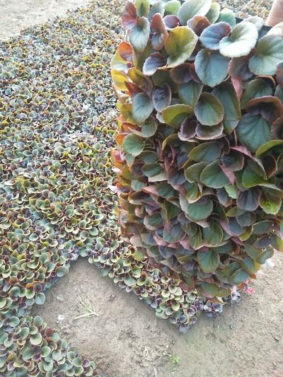 四季海棠穴盤苗/四季海棠穴盤苗出售/四季海棠穴盤苗種植