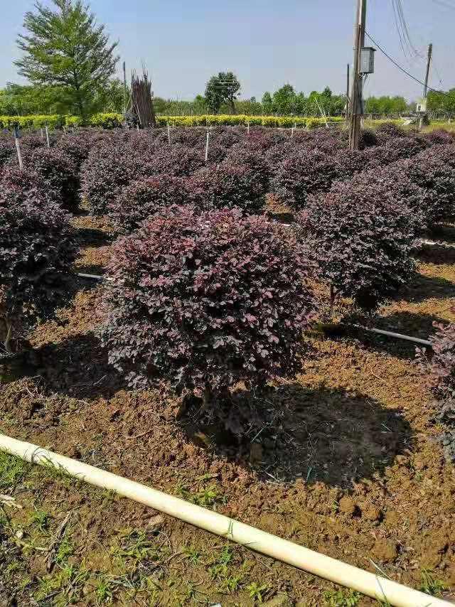 绿化苗木哪家好——哪家绿化苗木品种好