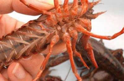 达鑫水产供应实惠的龙虾养殖场 小龙虾市场价格