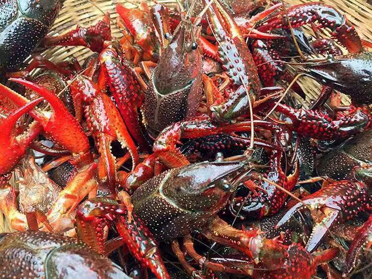 供应连云港合格的龙虾-采购优质种虾