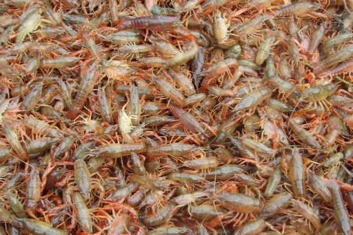 优质的小龙虾幼苗种虾批发,江苏口碑好的小龙虾幼苗种虾