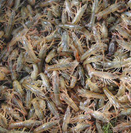 十亩龙虾种苗要多少钱