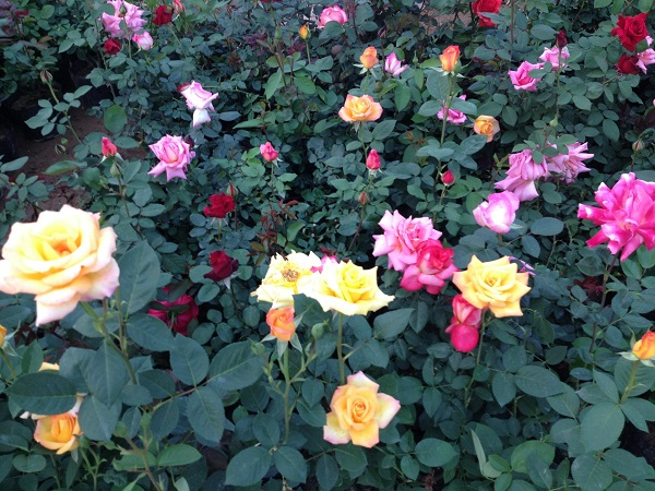 名声好的大花月季供应商推荐-大花月季种植基地