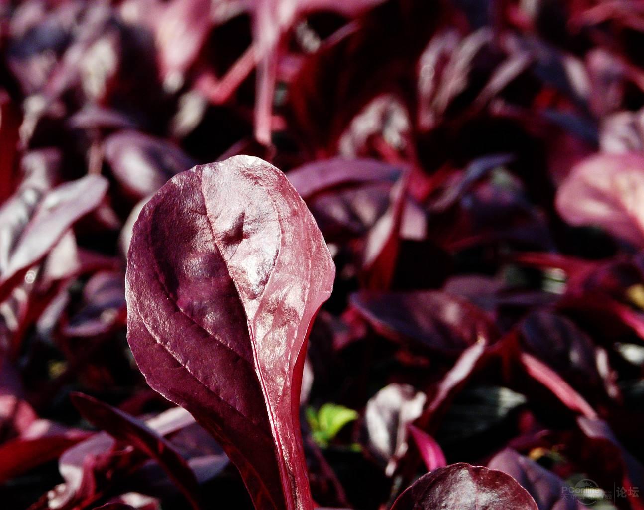 红叶甜菜批发|山东红叶甜菜现货供应
