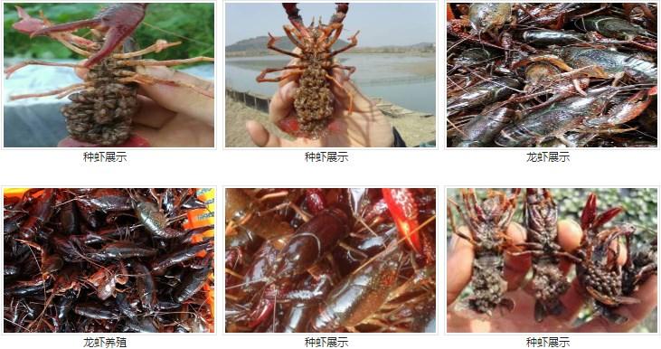 连云港信誉好的龙虾种虾经销商推荐-龙虾养殖技术厂家