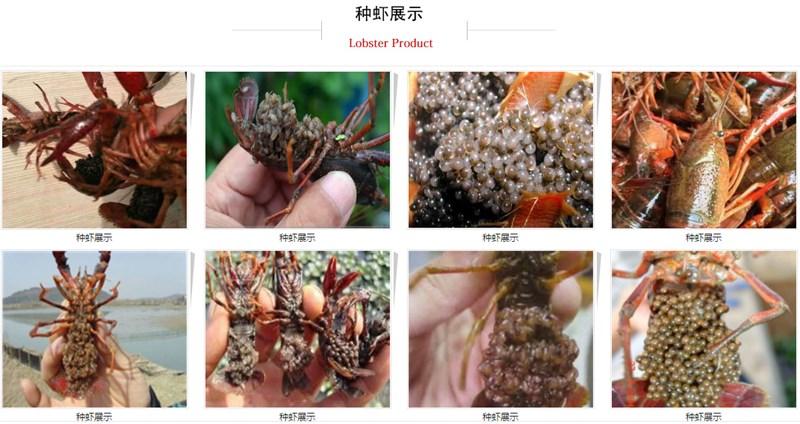 来赞扬水产,买口碑好的龙虾种虾 龙虾养殖技术指导哪里买