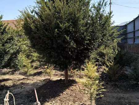 本溪红豆杉苗价格行情 红豆杉苗价格