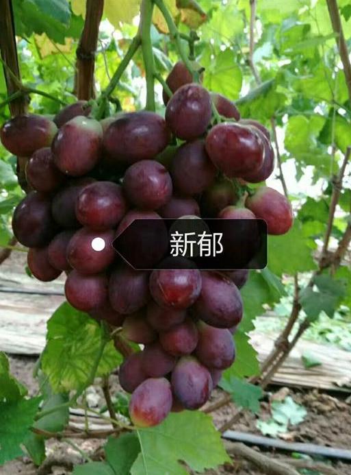新郁葡萄苗哪家好?雨润葡萄苗专业葡萄苗种植基地