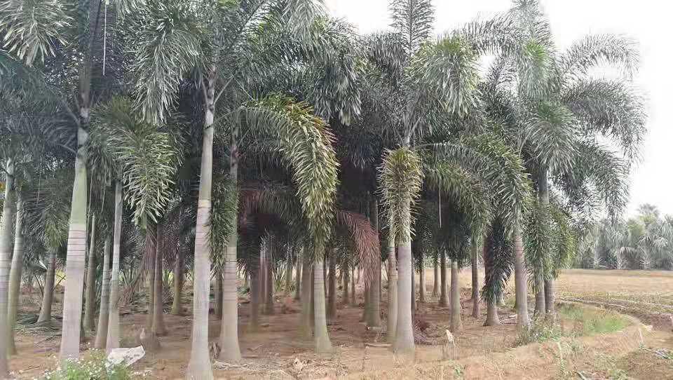 出口绿化苗木-无病虫害的绿化苗木推荐